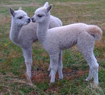 Two young alpacas