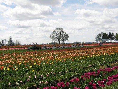 Cow train in the tulip field
