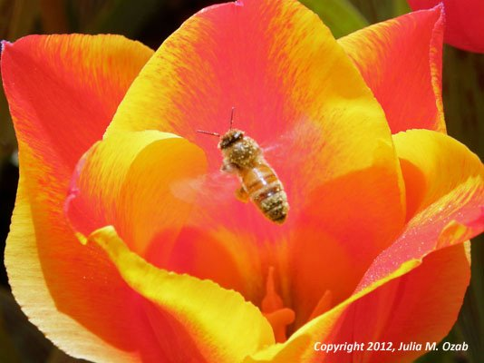 Bee hovering over tulip.