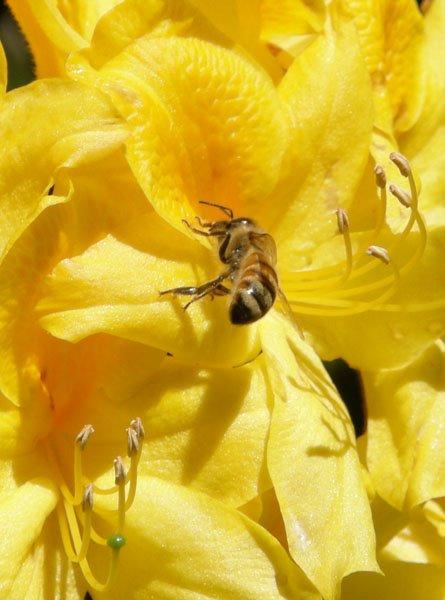 Bee on flower @2012 by Julia M. Ozab