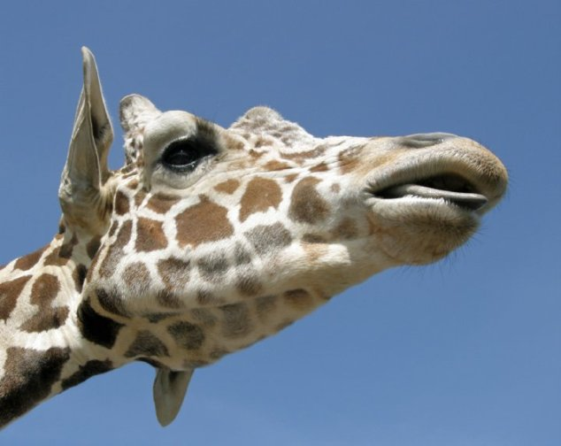 Giraffe against a blue sky