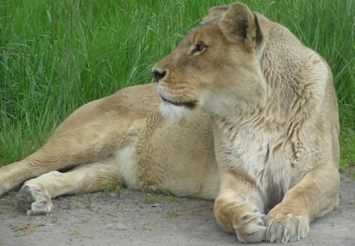 Lioness (2007)