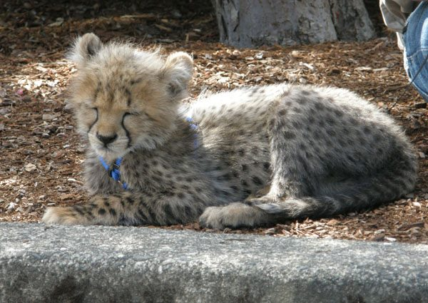 Sleepy Cheetah Cub (Photo: Julia M. Ozab)