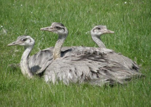 Three rheas