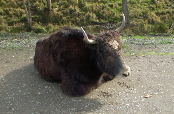 Relaxing yak