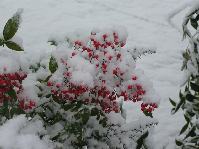 Evergreen branch with red berries covered in snow. (@2007 by Julia Ozab)
