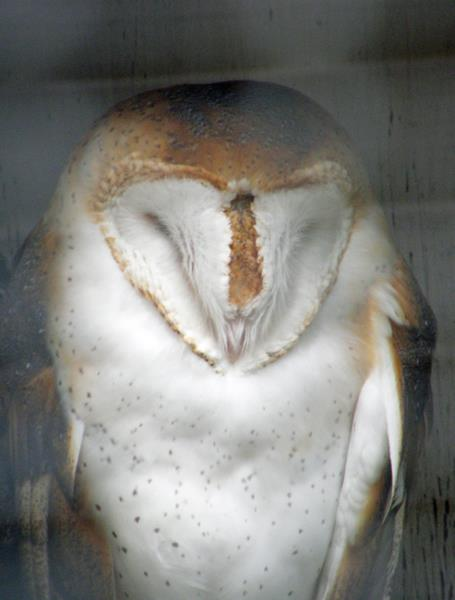 Barn owl at Cascade Raptor Center