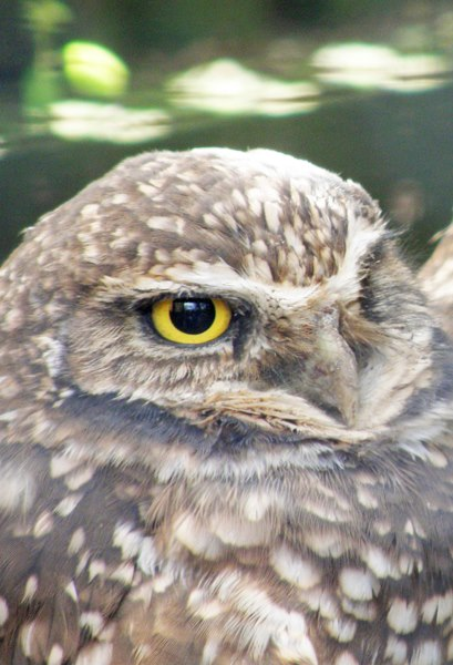 Burrowing owl at Cascade Raptor Center