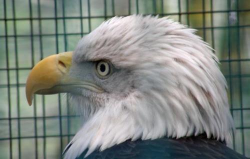 Bald eagle profile facing viewer's left.  (Photo @2013, Julia M. Ozab)
