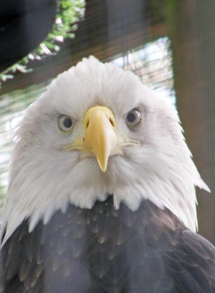 Bald eagle head on.  (Photo @2013, Julia M. Ozab)