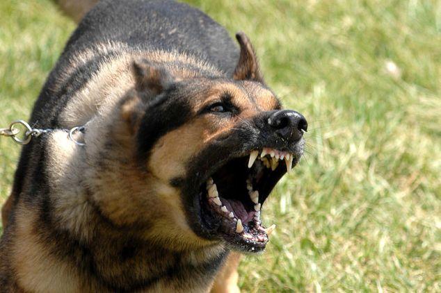 Barking German Shepherd