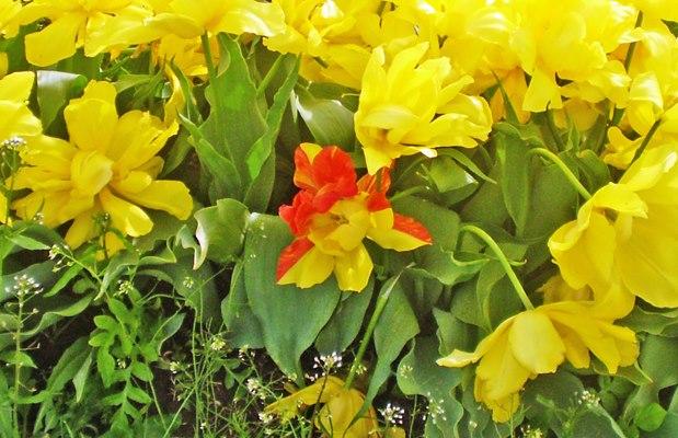half red half yellow tulip