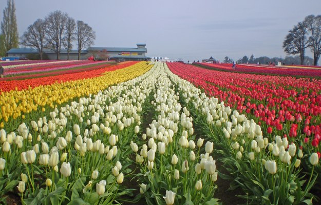 Farm and tulip rows