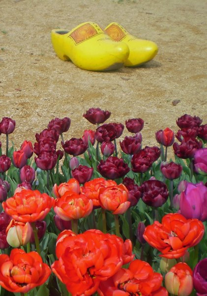 Wooden shoes behind a large bunch of tulips