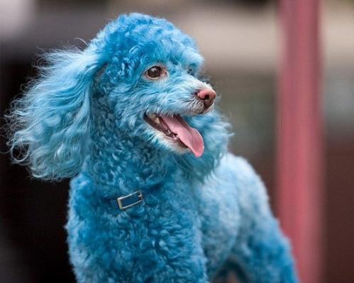 A blue poodle.