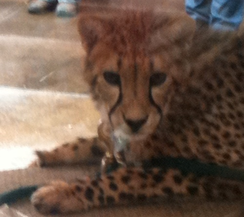 Cheetah closeup.
