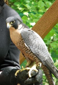 Freya the peregrine falcon (taken with zoom lens)