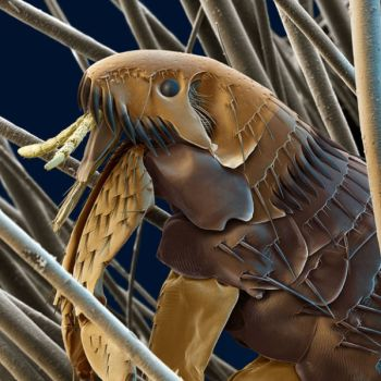 Flea under electron microscope.