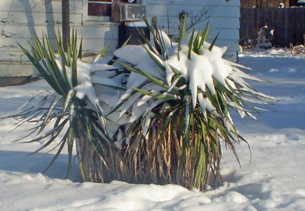 Snow-covered plant