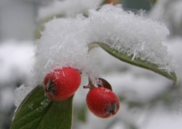 Red berries and snow crystals