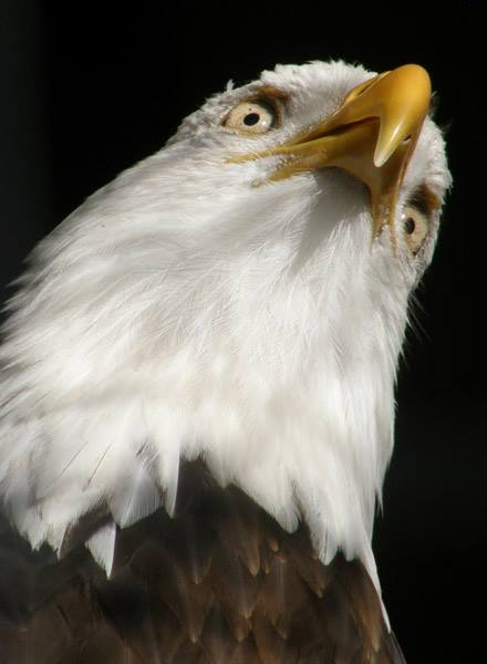 Bald eagle - looking up