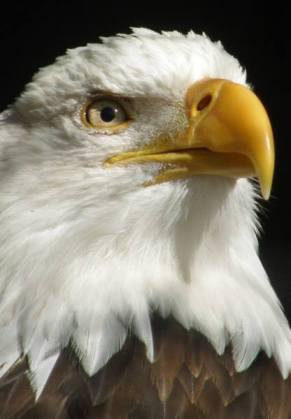 Bald eagle - right profile