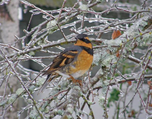 Robin on a ice-covered branch