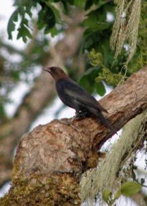 A black bird with a brown head
