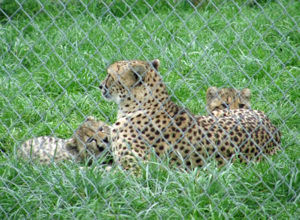 Cheetah and two cubs