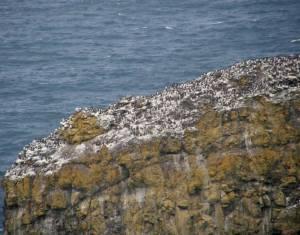 Thousands of seabirds
