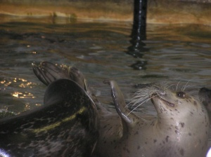 Seal lying on its back slapping its fin